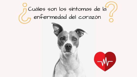 sintomas perro cardiaco