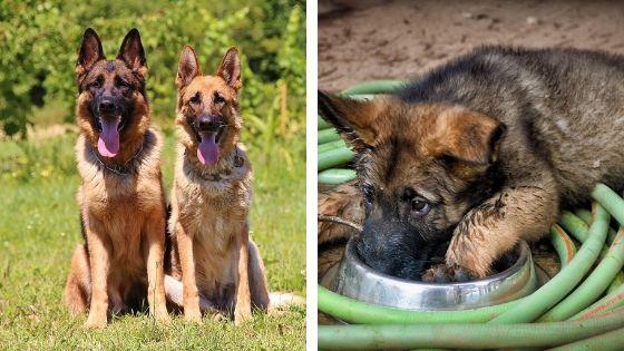 omida casera para cachorro de pastor aleman