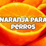 los perros pueden comer naranjas