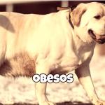 perros obesos tratamiento