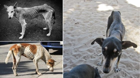 como engordar perros desnutridos
