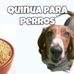 los perros pueden comer quinoa